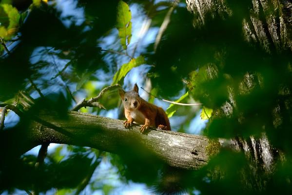 Sciurus vulgaris (red squirrel / scoiattolo)