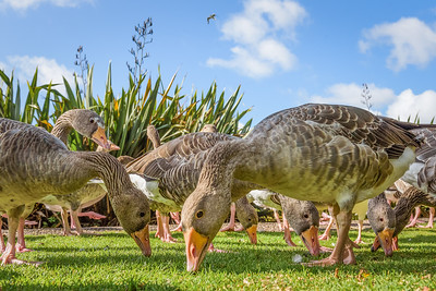 A Gaggle of Greylag