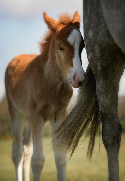 New Forest Foal with her mother