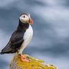 Proud  Atlantic Puffin