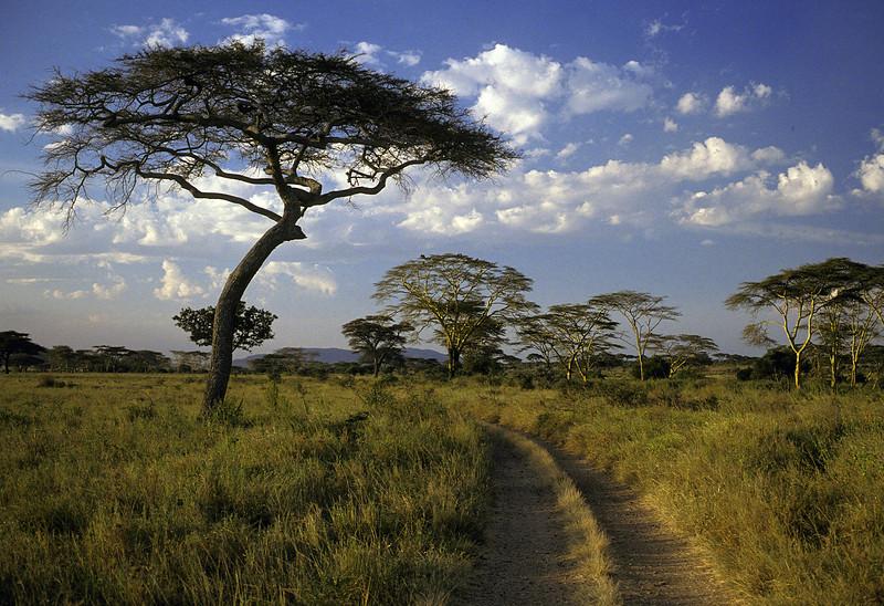 WAb11 Yellow Fever Trees, Masai Mara, Tanzania