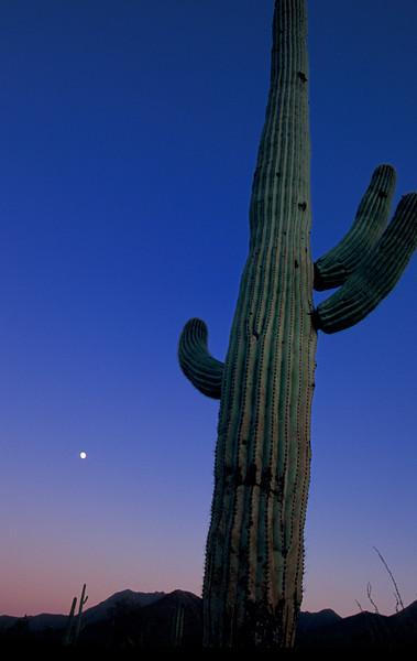 WAa 296 - Saguaro Cactus by Moonlight (Carnegiea gigantea)