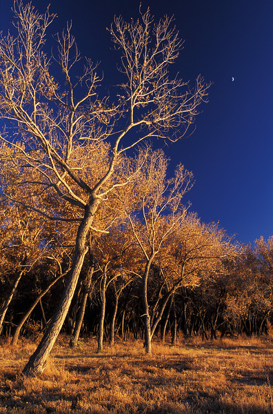WAa8 - Cottonwood Trees at Sunset, Albiquerque, NM