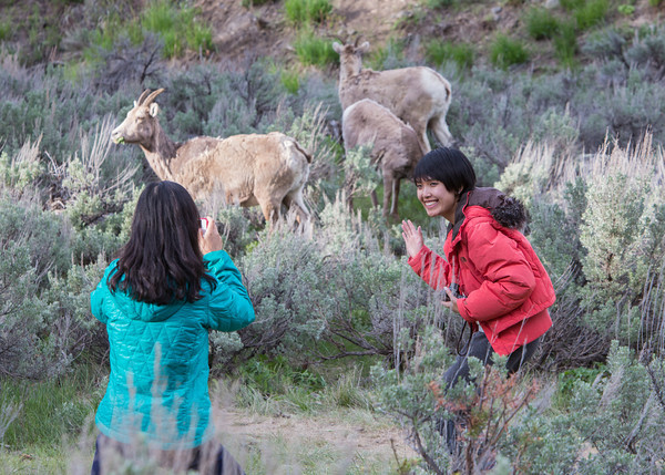 A tourist takes the photo of another tourist at the Yellowstone Picnic Area, Yellowstone National Park, Wyoming, USA. Bighorn sheep (Ovis canadensis) graze in the background.