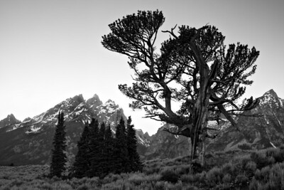 """The Old Patriarch Tree III""  Black and white version. Grand Teton National Park."