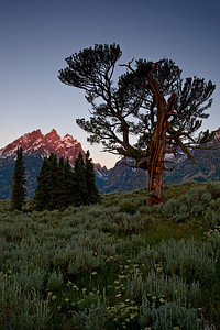 """The Old Patriarch Tree II""  Grand Teton National Park."