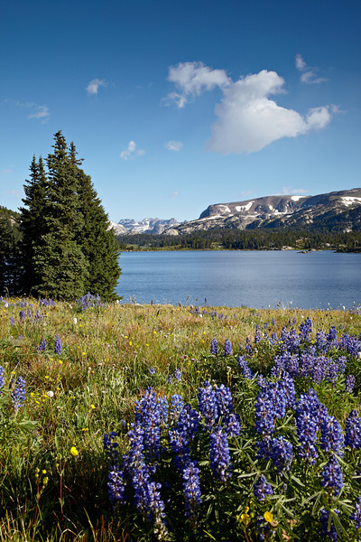 Lupine wildflowers (Lupinus spp.) in front of Island Lake. Taken along the Beartooth Pass, Shoshone National Forest, Wyoming, USA.