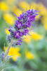 """""""Wild in Wyoming""""<br /> <br /> Phacelia sericea, a wildflower, with heartleaf arnica (Arnica cordifolia) in the background. Taken in the Snowy Range, Medicine Bow National Forest, Wyoming, USA."""