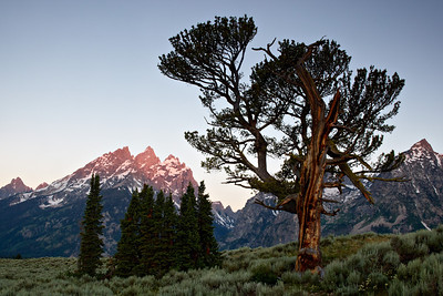 """The Old Patriarch Tree III""  Grand Teton National Park."