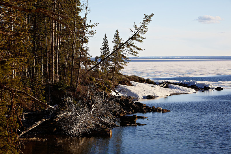 A tree leans over a semi-frozen Yellowstone Lake. Taken in Yellowstone National Park, Wyoming, USA.