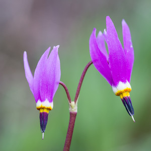"""The Stars of Yellowstone""  Funny thing--with all the wildlife and classic scenery in Yellowstone, I actually had the most fun photographing these alpine shooting stars (Dodecatheon alpinum), wildflowers. Taken in Yellowstone National Park, Wyoming, USA."