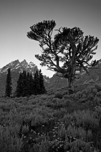 """The Old Patriarch Tree II""  Black and white version. Grand Teton National Park."