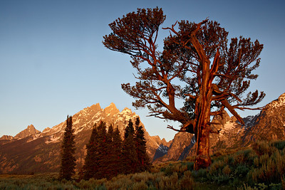 """The Old Patriarch Tree""  Grand Teton National Park."