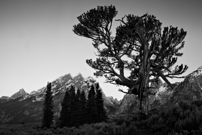 """The Old Patriarch Tree""  Black and white version. Grand Teton National Park."