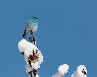 A mountain bluebird (Sialia currucoides) male atop a snowy pine tree. Taken in Yellowstone National Park, Wyoming, USA.
