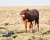 After taking a dust bath, a wild horse (Equus ferus) shakes off. Taken along the Pilot Butte Wild Horse Scenic  Loop, Wyoming, USA.