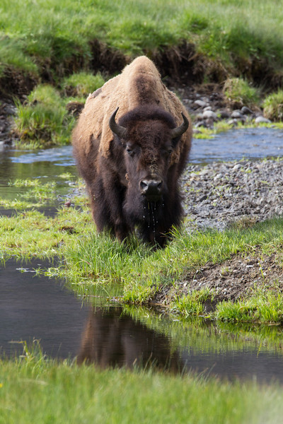 An American bison (Bison bison) after taking a drink from Soda Butte Creek. Taken in Yellowstone National Park, Wyoming, USA.