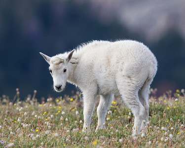 """Demure Princess With Tiara""  A baby mountain goat (Oreamnos americanus) pauses in tundra wildflowers, with a sprig of foliage caught on the top of its head. Taken along the Beartooth Pass, Shoshone National Forest, Wyoming, USA."