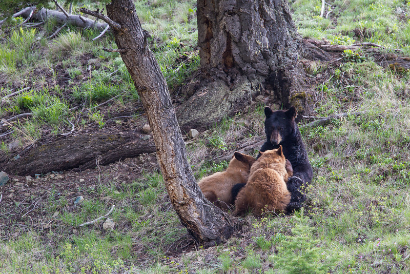 An American black bear (Ursus americanus) sow, nursing her two cinnamon-colored cubs. Taken in Yellowstone National Park, Wyoming, USA.