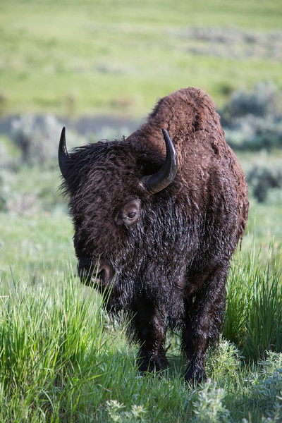 An American bison (Bison bison), wet after having crossed Slough Creek. Taken in Yellowstone National Park, Wyoming, USA.