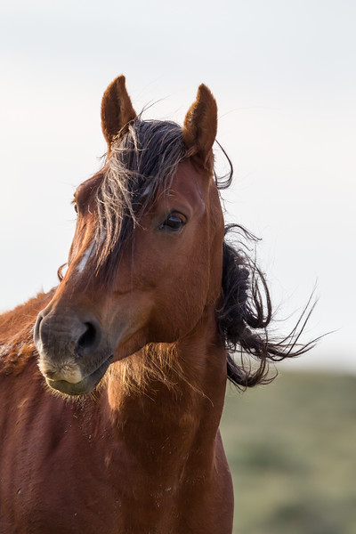 A wild horse (Equus ferus) with its mane blowing in the wind. Taken along the Pilot Butte Wild Horse Scenic  Loop, Wyoming, USA.