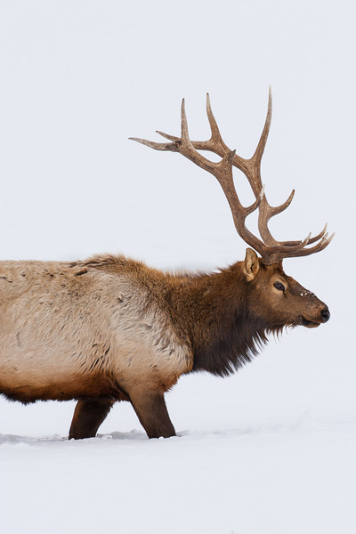 A male or bull elk (Cervus canadensis). Taken in Yellowstone National Park, Wyoming, USA.