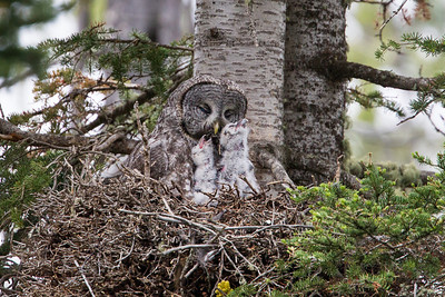 """Maternal""  Normally one would want all the eyes of the subjects showing and open. In this case, there is nary a one. But I felt like this photo showed the commitment that a bird parent invests in the nesting, incubating, and upbringing of their young. It is a great gray owl (Strix nebulosa) adult female looking particularly maternal with her two hungry young chicks. Taken in Yellowstone National Park, Wyoming, USA."
