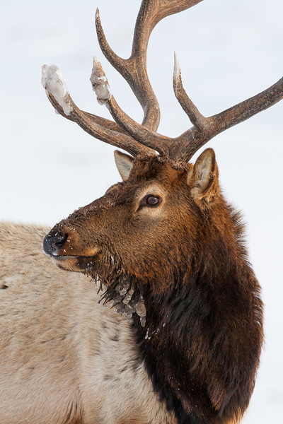 """""""Ice-Tipped""""<br /> <br /> A bull elk (Cervus canadensis) that had been rooting around in the snow with his antlers. Taken in Yellowstone National Park, Wyoming, USA."""