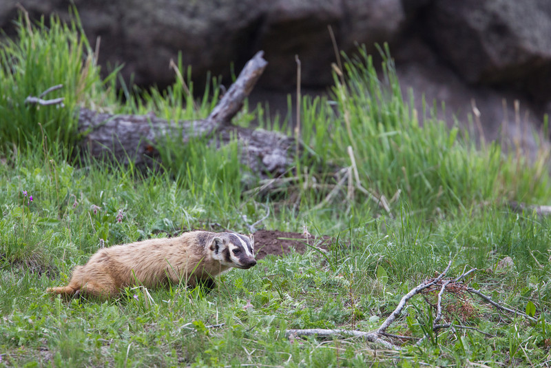 An American badger (Taxidea taxus) shortly after emerging from a red fox (Vulpes vulpes)  den at the Yellowstone Picnic Area. Taken in Yellowstone National Park, Wyoming, USA.