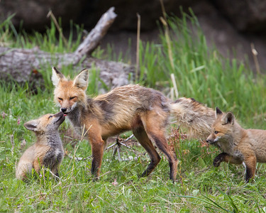 """Fox Affection""  Young red fox (Vulpes vulpes) kits greet their mother. Taken near their den at the Yellowstone Picnic Area, in Yellowstone National Park, Wyoming, USA."