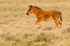 A wild horse (Equus ferus) foal runs through the sagebrush. Taken along the Pilot Butte Wild Horse Scenic  Loop, Wyoming, USA.