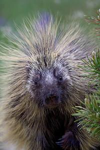 """Headdressed Porcupine""  A curious porcupine (Erethizon dorsatum) peeks around a pine tree. Taken in the Medicine Bow National Forest, Snowy Range, Wyoming, USA."