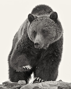 """""""Grizzly in Snowstorm""""  A grizzly bear (Ursus arctos horribilis) in a spring snowstorm. We photographed him over and over and he became our favorite subject that trip. Sadly, this grizzly later was involved in an incident involving a hiker and his backpack. The grizzly was killed by park officials. Taken in Yellowstone National Park, Wyoming, USA.  Here is an article about the incident: www.keystoneconservation.us/recent_news/2011/08/yellowstone-kills-grizzly-that-charged-man.html"""
