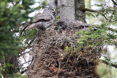 """Providing For Their Offspring""  A great gray owl (Strix nebulosa) male on the left has brought in a chipmunk. The female on the right is transferring the prey to their young chick, which has the chipmunk's head in its beak. Taken in Yellowstone National Park, Wyoming, USA."
