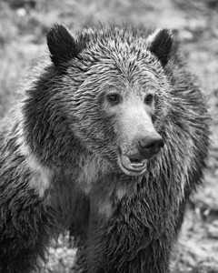 """""""The Happy Grizzly""""  This happy grizzly bear (Ursus arctos horribilis) was taken in Yellowstone National Park, Wyoming, USA. Looking forward to seeing more like this guy when we make a return to the park."""