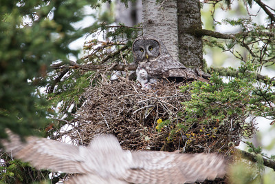 """""""Dad Is En Route""""  A great gray owl (Strix nebulosa) adult stares as her mate arrives with prey. Her two young chicks also are ready for his arrival. Taken in Yellowstone National Park, Wyoming, USA. (BIG thank you to Max Waugh for the tip on this owl family.)"""