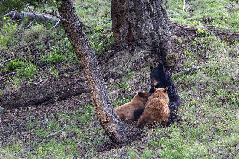 """""""Madonna With Twins""""<br /> <br /> An American black bear (Ursus americanus) sow, nursing her two cinnamon-colored cubs. A man standing next to me murmured, """"Oh look at her. What a beautiful madonna she is."""" A real privilege to witness this. Taken in Yellowstone National Park, Wyoming, USA."""