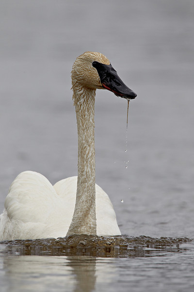 A trumpeter swan (Cygnus buccinator) swims on the Madison River. Taken in Yellowstone National Park, Wyoming, USA.