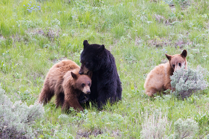 An American black bear (Ursus americanus) sow, and her two cinnamon-colored cubs. Taken in Yellowstone National Park, Wyoming, USA.