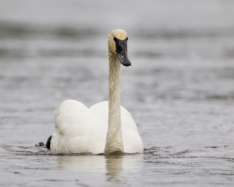 A trumpeter swan (Cygnus buccinator). Taken in Yellowstone National Park, Wyoming, USA.