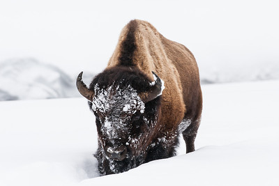 """One Way to Cool Off""  We finally got a couple of cool days and it sure was pleasant. But it looks like there is another heat wave that will be coming through soon. I think this bison (Bison bison) has the right idea! Just bury one's head in snow and all will be well. Taken in Yellowstone National Park, Wyoming, USA."