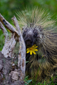 """Porcupine With Wildflower""  We had an unbelievably long time with this cooperative wild porcupine (Erethizon dorsatum). I couldn't believe it when he peered at us with this wildflower tucked under his chin! Taken in the Snowy Range, Medicine Bow National Forest, Wyoming, USA."
