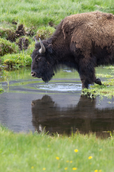 """""""Reflections of a Bison""""<br /> <br /> An American bison (Bison bison) in Soda Butte Creek. Taken in Yellowstone National Park, Wyoming, USA."""