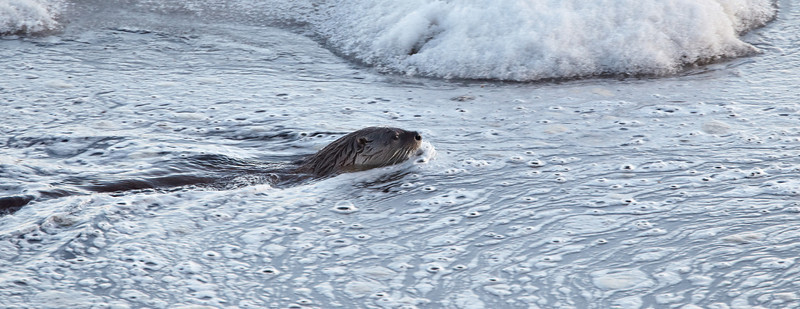 A North American river otter (Lontra canadensis) swims in semi-frozen Yellowstone Lake. Taken in Yellowstone National Park, Wyoming, USA.