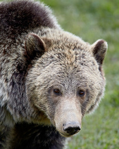 """""""Soul In the Eyes""""  A grizzly bear (Ursus arctos horribilis) stares at me with soulful eyes. Taken in Yellowstone National Park, Wyoming, USA."""