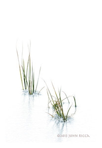 Isolated Grasses In Ice 2