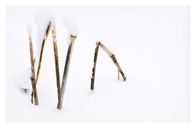 Y A Reeds