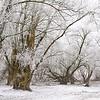 Silberweiden im Schnee