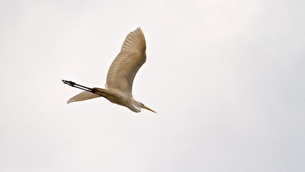 Silberreiher, Great Egret