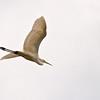 Silberreiher, Great Egret